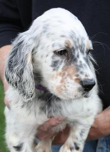 Top Five English Setter Puppies For Sale In Illinois - Circus
